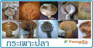 กระเพาะปลา สมุนไพร สมุนไพรไทย
