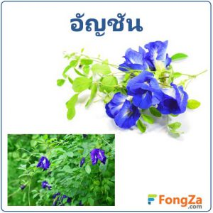 ต้นอัญชัน ดอกอัญชัน สมุนไพร สรรพคุณของดอกอัญชัน