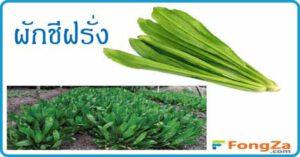 ผักชีฝรั่ง สมุนไพร สมุนไพรไทย
