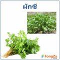 ผักชี สมุนไพรไทย กลิ่นหอม ประโยชน์และสรรพคุณของผักชี