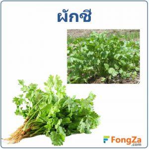 ผักชี พืชสวนครัว สมุนไพรไทย สรรพคุณของผักชี