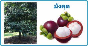 มังคุด ราชินีแห่งผลไม้ ผลไม้ สรรพคุณของมังคุด