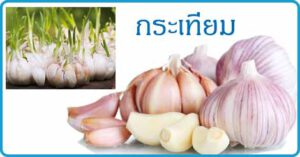 กระเทียม สมุนไพร สมุนไพรไทย