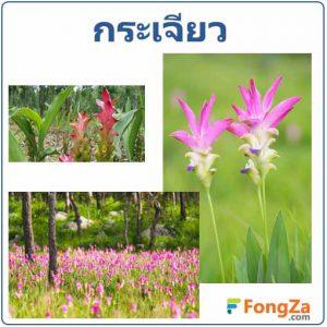 ดอกกระเจียว ต้นกระเจียว สมุนไพร สรรพคุณของกระเจียว