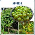 มะยม พืชพื้นบ้าน ผลไม้รสเปรี้ยว ประโยชน์และโทษ เป็นอย่างไร