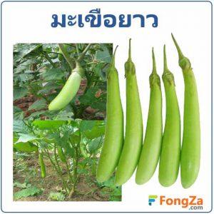 มะเขือยาว ผลมะเขือยาว ผักสวนครัว สรรพคุณของมะขือยาว