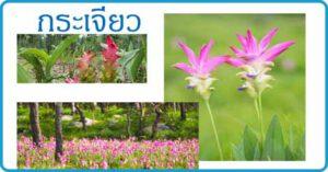 กระเจียว สมุนไพร สมุนไพรไทย