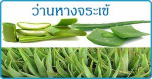 ว่านหางจระเข้ สมุนไพรไทย สมุนไพร