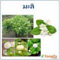 มะลิ ดอกไม้กลิ่นหอม สรรพคุณของมะลิ มีอะไรบ้าง
