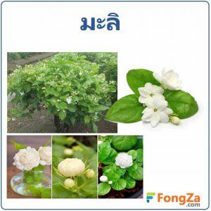 มะลิ ดอกมะลิ สรรพคุณของมะลิ สมุนไพร