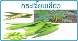กระเจี๊ยบเขียว สมุนไพร สมุนไพรไทย
