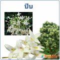 ปีบ กาสะลอง ดอกไม้กลิ่นหอม สรรพคุณและโทษ มีอะไรบ้าง