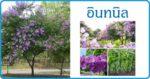 อินทนิล พืชดอกสวย สมุนไพร สรรพคุณของอินทนิล