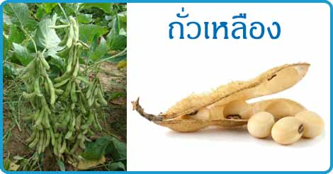 ถั่วเหลือง สมุนไพร พืชตระกูลถั่ว สรรพคุณของถั่วเหลือง