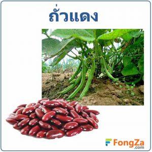 ถั่วแดง ธัญพืช สรรพคุณของถั่วแดง สมุนไพร