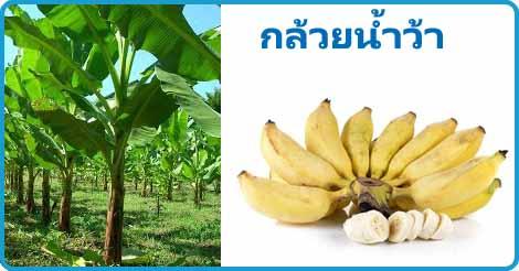กล้วยน้ำว้า สมุนไพร ผลไม้ สรรพคุณของกล้วยน้ำว้า