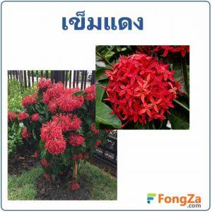 ดอกเข็ม ต้นเข็มแดง สมุนไพร สรรพคุณของต้นเข็ม