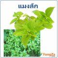 ต้นแมงลัก พืชพื้นบ้าน สมุนไพรช่วยลดความอ้วน ช่วยท้องอิ่มนานๆ