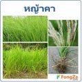 หญ้าคา พืชสารพัดประโยชน์ สมุนไพรจากวัชพืช ใช้ประโยชน์อะไรได้