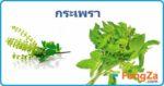 กระเพรา สมุนไพร สรรพคุณของกระเพรา สมุนไพรไทย