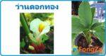 ว่านดอกทอง ว่านหมาเสน่ห์ สมุนไพร พืชมงคล