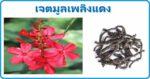 เจตมูลเพลิงแดง สมุนไพรไทย สรรพคุณเจตมูลเพลิงแดง