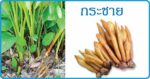 กระชาย สมุนไพรรักษาแผล โสมไทย