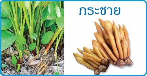 กระชาย สมุนไพร โสมไทย