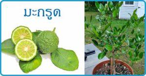 มะกรูด สมุนไพร สรรพคุณของมะกรูด สมุนไพรไทย
