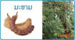 มะขาม สมุนไพรรักษาแผล ผลไม้