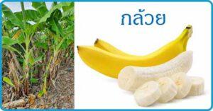 กล้วย สมุนไพร ผลไม้ สรรพคุณกล้วย